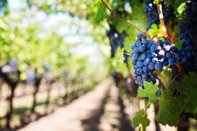 Producción de vino en Querétaro